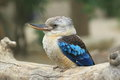 Blue-winged kookaburra Royalty Free Stock Photo
