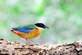 Blue winged Pitta bird Stock Image