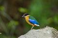 Blue winged Pitta bird [Pitta granatina]