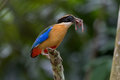 Blue-winged Pitta with earth worms.