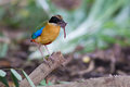 Blue-Winged Pitta beside my home