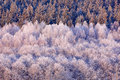 Blue winter landscape, birch tree forest with snow, ice and rime. Pink morning light before sunrise. Winter twilight, cold nature Royalty Free Stock Photo