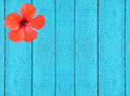 Blue wooden fence with red hibiscus flower as background Stock Image