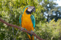 Blue-yellow Macaw Stock Photography