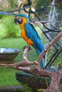 A blue and yellow macaw Royalty Free Stock Photo