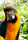 Blue and yellow Macaw Stock Image