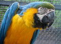 Blue-and-yellow Macaw - Ara ararauna Royalty Free Stock Image
