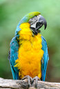Blue-and-yellow Macaw – (Ara ararauna) Stock Photography