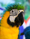 Blue-and-yellow Macaw (Ara ararauna) Stock Image