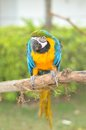 Blue and yellow macaw ara ararauna also known as the gold a large south american parrot Stock Image