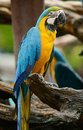 Blue-and-yellow Macaw (Ara ararauna) Royalty Free Stock Photo