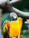 Blue and yellow macaw a ara ararauna at the jurong bird park in singapore Royalty Free Stock Photos