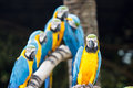 Blue and yellow macaw ara ararauna sitting on log Stock Images