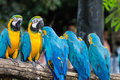Blue and yellow macaw ara ararauna sitting on log Stock Image