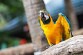 Blue and yellow macaw ara ararauna sitting on log Royalty Free Stock Images