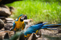 Blue and yellow macaw ara ararauna sitting on log Royalty Free Stock Photography