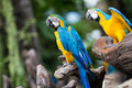 Blue and yellow macaw ara ararauna sitting on log Stock Photos