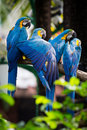 Blue and yellow macaw ara ararauna sitting on log Stock Photography