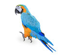 Blue and yellow macaw ara bird Stock Image