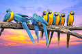 Blue and yellow macaw with beautiful sky at sunset on wooden Royalty Free Stock Images