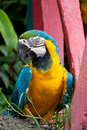 The Blue-and-yellow Macaw bird. Royalty Free Stock Photos