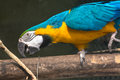 Blue yellow macaw bird in a bird sanctuary. Royalty Free Stock Photo