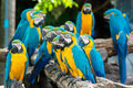 Blue and yellow macaw birds sitting on wood branch. Royalty Free Stock Photo
