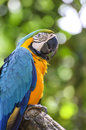 Blue and yellow macaw closeup Royalty Free Stock Photo