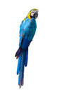 Blue and yellow macaw. Royalty Free Stock Photo