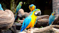 Blue and yellow macaw or gold ara ararauna Royalty Free Stock Images