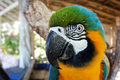Blue and yellow macaw head detail gold Stock Photography