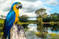 Blue and Yellow Macaw in Pantanal, Brazil Royalty Free Stock Photo