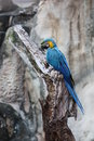 A blue and yellow macaw perched on a dead tree Royalty Free Stock Photo