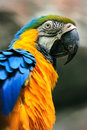 Blue and yellow macaw portrait of Royalty Free Stock Photo