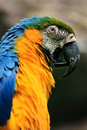 Blue and yellow macaw portrait of Stock Photo