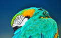 Blue and yellow macaw preening beautiful gold ara ararauna over background Stock Image
