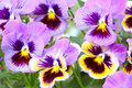 Blue and yellow and pansy (viola) Royalty Free Stock Photo