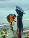 Blue and Yellow parrots Stock Photos