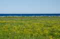 Blue and yellow view water flowers in a green field from the island oland ind sweden Stock Photos