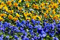 Blue and yellow viola flowers on a flowerbed, the colours of Ukrainian flag Royalty Free Stock Photo