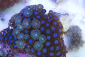 Blue Zoanthid and Palythoa polyps coral colony Royalty Free Stock Photo