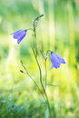 Bluebell bellflower close up of of scotland harebell or witches thimble latin name campanula rotundifolia on bright green Royalty Free Stock Image