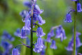 Bluebell Royalty Free Stock Photo