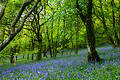 Bluebell Fairyland Stock Photo