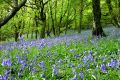 Bluebell Fantasy Land Royalty Free Stock Photo