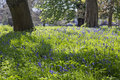 Bluebell field a carpet of pretty flowers in a Royalty Free Stock Photo
