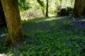 Bluebell field in killarney Royalty Free Stock Photo