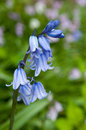 Bluebell flower against blurred green background Stock Photography