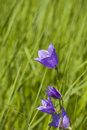 Bluebell flower in green grass Stock Photo