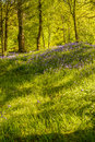 Bluebell flowers in lush green woodland with rays of sunlight filtering through the trees Royalty Free Stock Photo